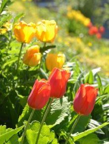 Tulpen rotgelb